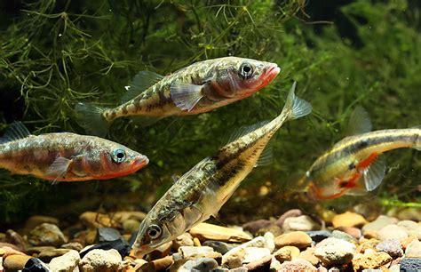 Einheimische Pflanzen In Deutschland by Tierarten S 252 223 Wasserfische Deutschlands Natur