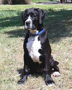 Boxador (Boxer-Lab Mix) Info, Temperament, Training ...
