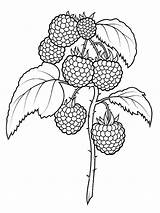 Coloring Raspberries Pages Fruits Berries Supercoloring Printable Fruit Drawing Raspberry Pattern Super Sheets Hand Se Dot sketch template