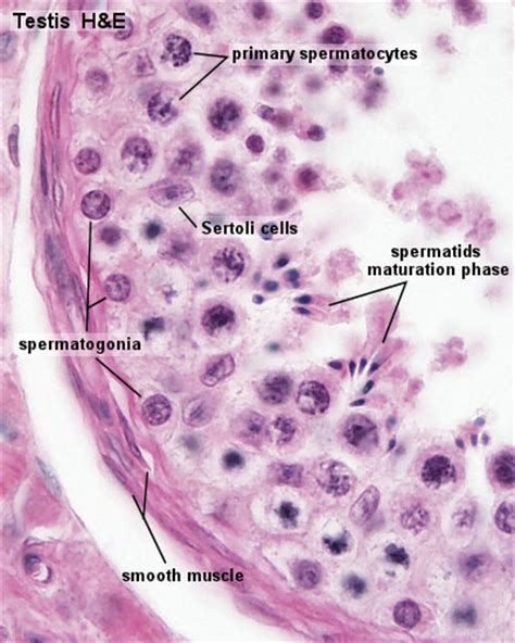 lab  spermatogenesis embryology