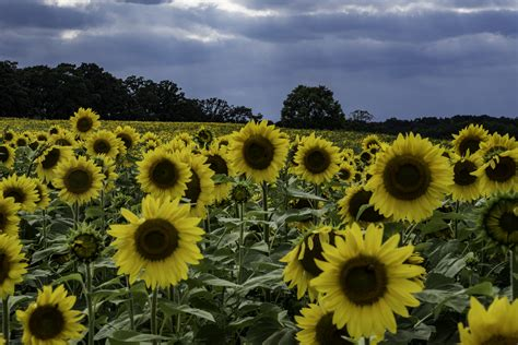 large sunflowers blooming   pope conservancy farm
