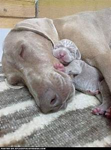 Momma and baby Weimaraner cuddling and sleeping so sweetly ...