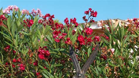 oleander schneiden fruehjahr oder spaetsommer