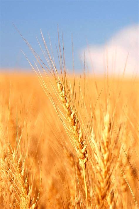 paesaggio spiga  grano   campo  grano natura