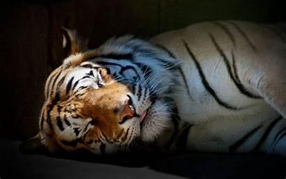 Tigre Dormido Tigres Wallpapers Tiger Sleeping Fondos