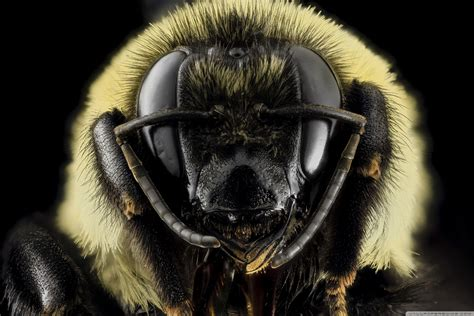 bombus griseocollis brown belted bumblebee head  hd