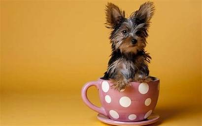 Teacup Dog Breeds Right Cup Tea Dogs