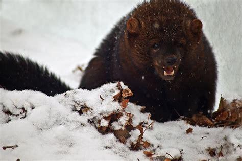 File:Ferocious wild animal fisher teeth snow West