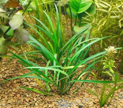 of your aquarium aquarium plants aquarium plants here are some grass like aquarium p