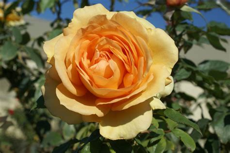 South Africa   Ludwigs RosesLudwigs Roses