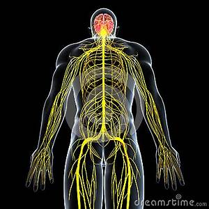 Nervous System Of Male With Full Back Body Royalty Free