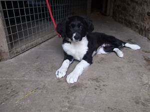 Sprollie Puppy (Springer Spaniel X Border Collie) | Yeovil ...