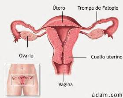 Uterine Wall Shedding During Menstruation by Corpoumanowiki Sistema Reproductor Femenino