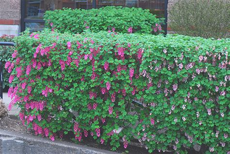 flowering hedge hedging plants hedges garden screens for garden boundaries