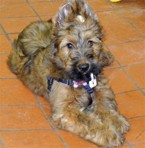briards   poster pups   mischeivous