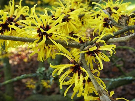 picture of witch hazel plant chinese witch hazel hamamelis mollis garden helper gardening questions and answers
