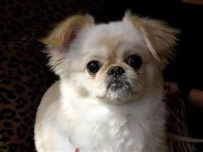 cheeks dog pekingese chihuahua mix info temperament