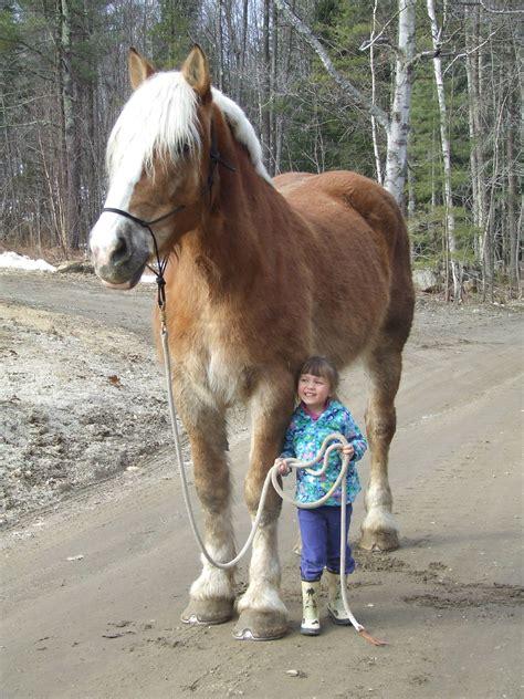 horse draft horses belgian gentle maine giant farm pretty huge animal cute kid animals western breeds giants funny heights pony