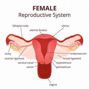 Diagram Of Female Ovary