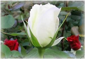 Fleur Rose Et Blanche : le monde de la terre blog archive blanc tout blanc le monde de la terre ~ Dallasstarsshop.com Idées de Décoration