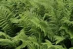 List of Seedless Vascular Plants   Sciencing