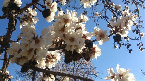 fiore di mandorlo febbraio mandorli in fiore fira de la flor d ametler