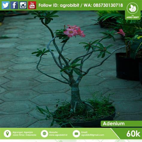 menanam bunga adenium biji agro bibit id