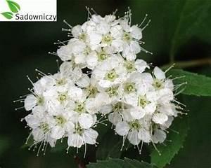 Die Schönsten Gartenbäume : japanischer spierstrauch spiraea japonica albiflora ~ Michelbontemps.com Haus und Dekorationen
