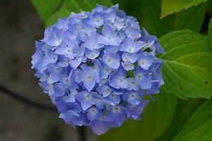 Blumen Trocknen Ohne Farbverlust : photo gratuite hortensia fleur nature jardin image ~ A.2002-acura-tl-radio.info Haus und Dekorationen