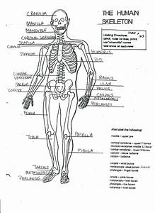 Diagram  Human Skeleton Diagram Without Labels Front