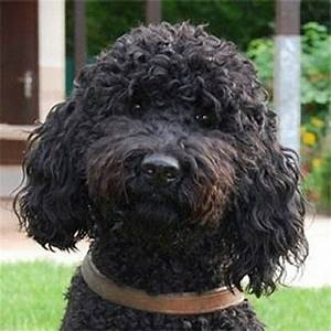 30+ Most Beautiful Black Barbet Dog Pictures And Images