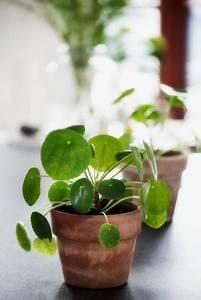 Balkonpflanzen Hängend Pflegeleicht : die besten 25 chinesische geldpflanze ideen auf pinterest ~ Lizthompson.info Haus und Dekorationen