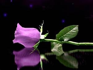 A single purple rose | Roses | Pinterest