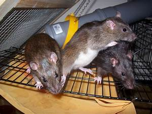 Ratte Im Haus : rattengift ungeziefer im haus ~ Buech-reservation.com Haus und Dekorationen