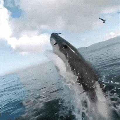 Sharks Gifs Amazing Person Meet Absolutely Would