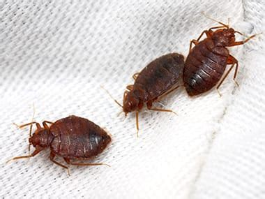 bed bugs prevention  bed bug control tips