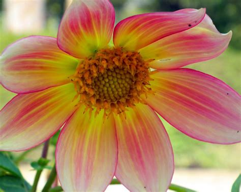 Dahlia Flowers Pink Yellow Color Macro Flower Photography