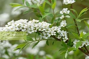 Spiraea Cinerea Grefsheim : gap gardens spiraea x cinerea 39 grefsheim 39 agm flowering in april image no 0061217 photo ~ Orissabook.com Haus und Dekorationen