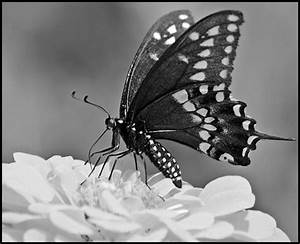 black and white butterflies - a gallery on Flickr