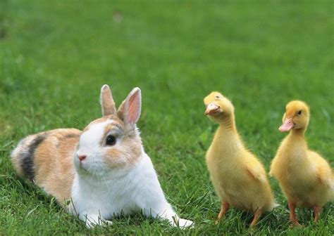 Baby Farm Animals Wallpaper - pictures of baby farm animals on animal picture society
