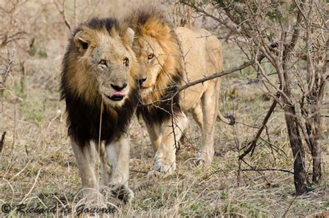 legend   mapogo lions africa geographic