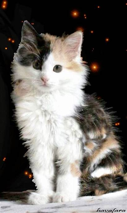 Kittens Calico Cat Kitten Cutest Cats Remembrance