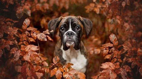 boxer dogs autumn photography