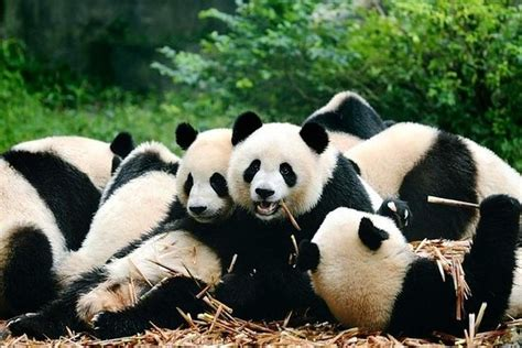 tripadvisor chengdu giant panda base park