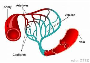 Heart Blood Vessel Diagram