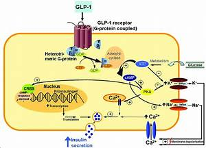 Mechanism Of Action Of Glp