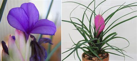 rhododendron niedrigere klassifizierungen tillandsia cyanea pink quill indoor plants