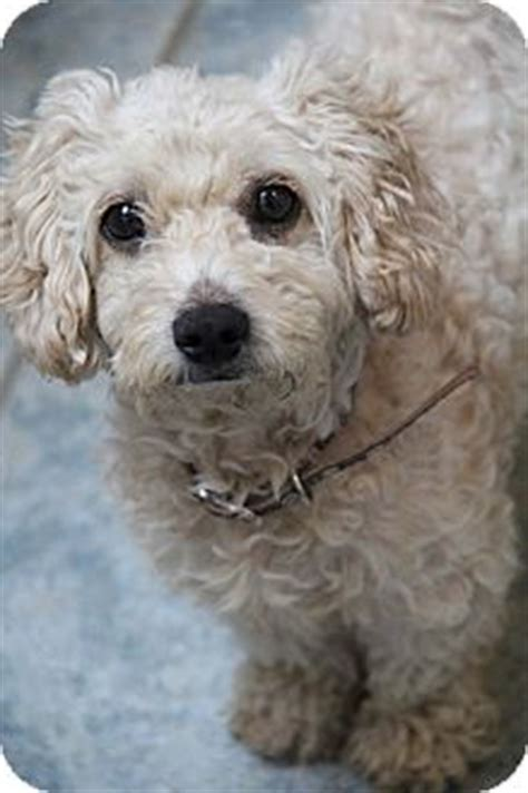 maggie adopted dog yuba city ca poodle miniature