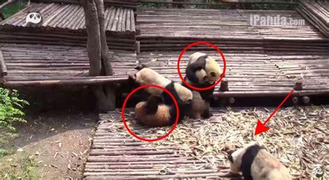 esta pelea de bebes panda es lo mas tierno  divertido