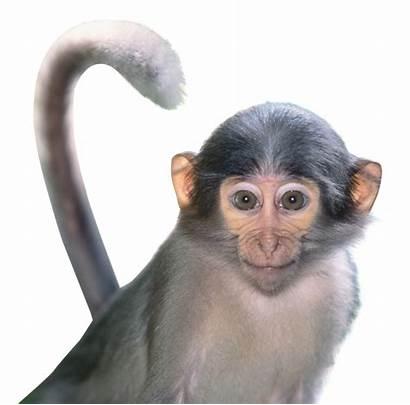 Monkey Transparent Clipart Purepng